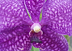 Luxueuse Orchidée Vanda